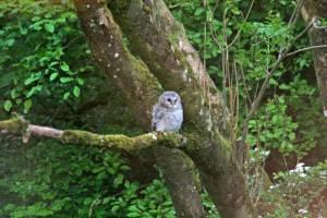 baby_owl_1611