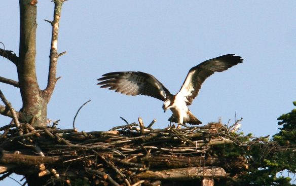 Male Osprey at the nest with wings outstretched