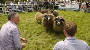 Blackface sheep in the ring