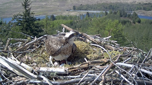 Osprey on nest with 3 eggs